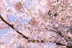 青森県 弘前公園の満開の桜の写真素材 [FYI04090693]