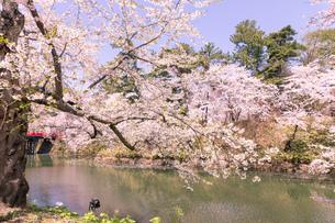 青森県 弘前公園の満開の桜の写真素材 [FYI04090697]