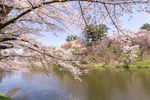 青森県 弘前公園の満開の桜の写真素材 [FYI04090699]