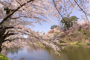 青森県 弘前公園の満開の桜の写真素材 [FYI04090700]