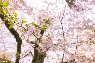 青森県 弘前公園の満開の桜の写真素材 [FYI04090701]