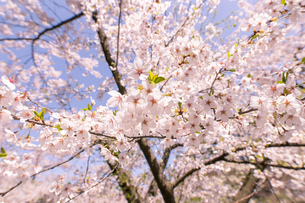 青森県 弘前公園の満開の桜の写真素材 [FYI04090702]
