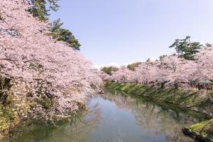 弘前公園の満開の桜の写真素材 [FYI04090706]