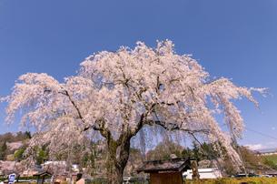 秋田県 角館のシダレ桜の写真素材 [FYI04090708]