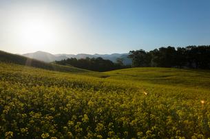 菜の花畑と太陽の写真素材 [FYI04090709]