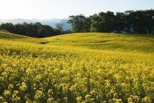 菜の花畑の写真素材 [FYI04090710]
