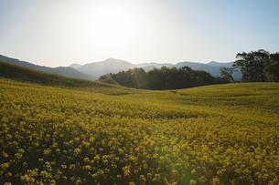 菜の花畑と太陽の写真素材 [FYI04090711]