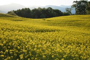 菜の花畑の写真素材 [FYI04090712]