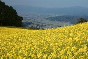 菜の花畑の写真素材 [FYI04090714]