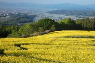 菜の花畑の写真素材 [FYI04090716]
