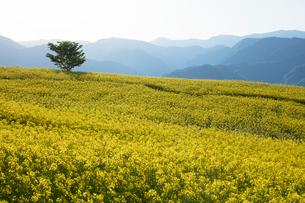 菜の花畑の写真素材 [FYI04090718]