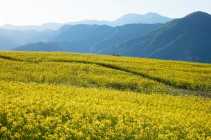 菜の花畑の写真素材 [FYI04090719]