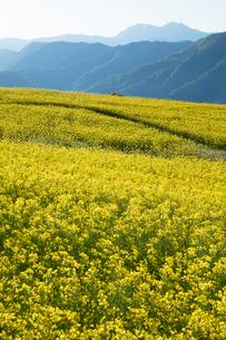 菜の花畑の写真素材 [FYI04090720]