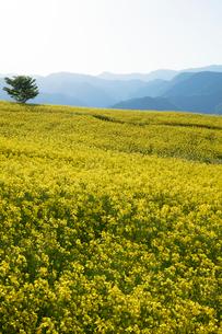 菜の花畑の写真素材 [FYI04090721]