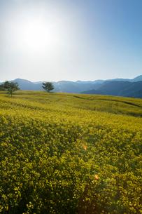 菜の花畑と太陽の写真素材 [FYI04090722]