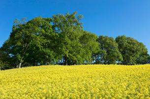 菜の花畑の写真素材 [FYI04090724]