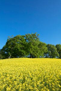 菜の花畑の写真素材 [FYI04090725]