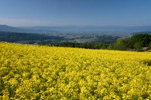 菜の花畑の写真素材 [FYI04090726]