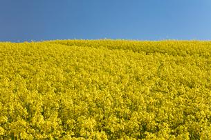 菜の花畑の写真素材 [FYI04090729]