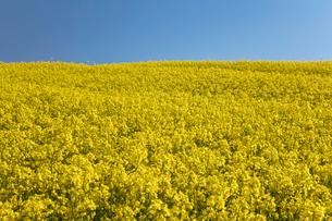 菜の花畑の写真素材 [FYI04090730]