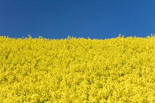 菜の花畑の写真素材 [FYI04090749]