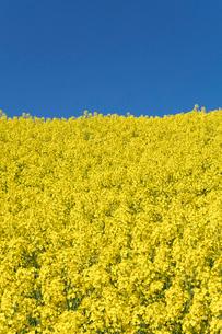 菜の花畑の写真素材 [FYI04090750]