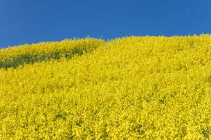 菜の花畑の写真素材 [FYI04090751]