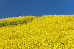 菜の花畑の写真素材 [FYI04090752]