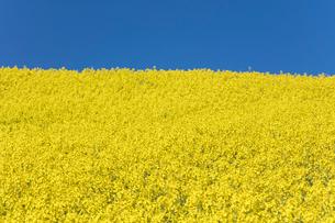 菜の花畑の写真素材 [FYI04090753]