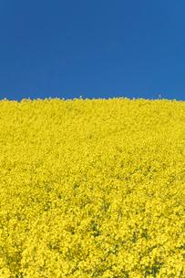 菜の花畑の写真素材 [FYI04090754]