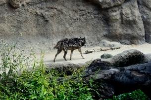 神戸どうぶつ王国,シンリンオオカミの写真素材 [FYI04091027]