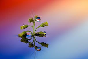 水に浮かぶ花としずくの写真素材 [FYI04091057]