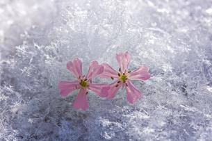 冬の花の写真素材 [FYI04091065]