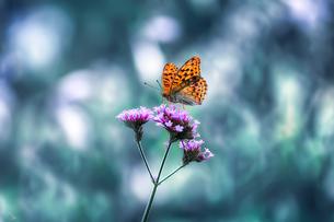 蝶の写真素材 [FYI04091081]