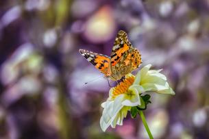 夏の蝶の写真素材 [FYI04091095]