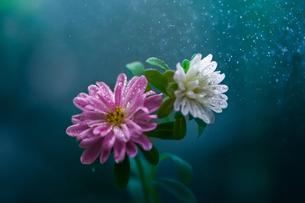 雨に濡れる花の写真素材 [FYI04091105]