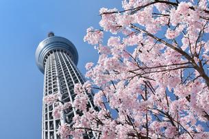 スカイツリーと桜の写真素材 [FYI04091130]