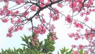 桜の花の写真素材 [FYI04091281]