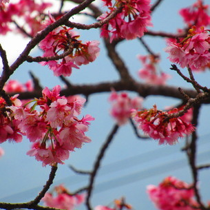 寒緋桜の写真素材 [FYI04091285]