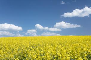 菜の花畑と白い雲の写真素材 [FYI04091289]