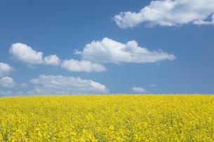 菜の花畑と白い雲の写真素材 [FYI04091290]