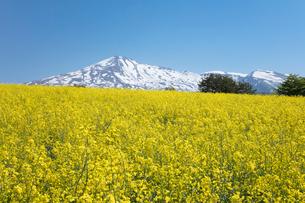 菜の花畑と鳥海山の写真素材 [FYI04091291]