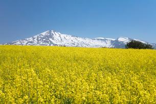 菜の花畑と鳥海山の写真素材 [FYI04091292]