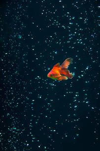 水中の金魚ときらめく気泡の写真素材 [FYI04091304]