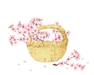 桜の花籠のイラスト素材 [FYI04091396]