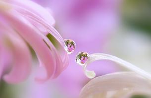 花としずくの写真素材 [FYI04091438]