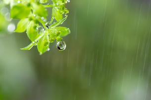 しずくと雨の写真素材 [FYI04091474]