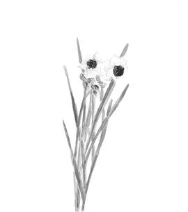 水仙 スイセン 水彩 水墨画風 モノトーンのイラスト素材 [FYI04091494]