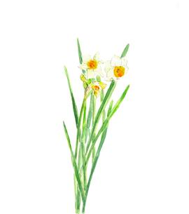 水仙 スイセン 水彩画のイラスト素材 [FYI04091495]