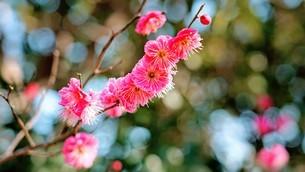 紅梅の花の写真素材 [FYI04091498]